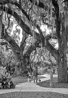 Walking The Dogs In New Orleans Bw.  City Park in the heart of New Orleans is a grand place to stroll and absorb the beauty of the ancient live oaks. This grove beside the lagoon has massive trees dating from the time of Columbus. A natural, living cathedral.