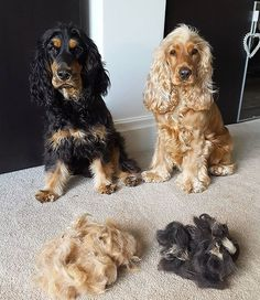 Cocker Spaniel Anglais, Cocker Spaniel Puppies, Cute Dogs And Puppies, I Love Dogs, Doggies, American Cocker Spaniel, English Cocker Spaniel, Dog Hand Signals, English Dogs