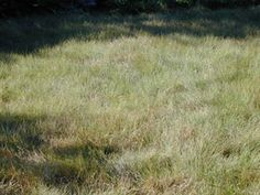 Buffalograss [Bouteloua dactyloides] - Drought tolerant and long-lived lawn grass.  Takes moderate foot traffic, preferring sun and clay loam.  Does not like sand or shade.