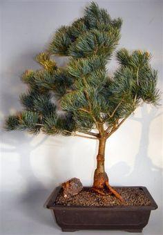 Japanese White Pine Blue Short Needle Bonsai Tree (pinus parviflora 'Glauca Brevifolia')