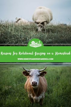 Reasons to Use Rotational Grazing to Raise Pastured Livestock on the Homestead #homestead #selfsufficiency #sheep #cows #poultry #chickens #goats #livestock #farming #sustainability #pastured Livestock Farming, Modern Homesteading, Cowboy Art, Meat Chickens, Cows, Cattle, Poultry, Sustainability, Sheep