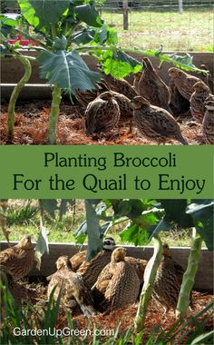 Planting Broccoli For the Quail to Enjoy – they loved it the new addition Brokkoli anpflanzen, damit die Wachteln es genießen – sie fanden es toll, dass es neu hinzugekommen ist Quail Pen, Quail Coop, Quail Eggs, Raising Quail, Raising Farm Animals, Raising Chickens, Backyard Farming, Chickens Backyard, Backyard Poultry