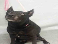 KILLED  Manhattan Center WANDY – A1074754  **DOH-B  05/23/16**  FEMALE, BLACK, GERM SH POINT MIX, 6 yrs STRAY – ONHOLDHERE, HOLD FOR DOH-B Reason STRAY Intake condition EXAM REQ Intake Date 05/23/2016, From NY 10023, DueOut Date06/02/2016
