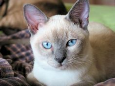 Tonkinese cat!  One of my babies is a Tonk!  I can't imagine ever having a different breed.
