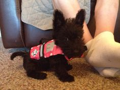 Sweet baby Scottie. Looks like a toy.