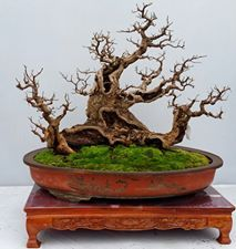 Highlights of the 9th National Bonsai Exhibition & the 1st BCI China Bonsai & Penjing Exhibit in Guangzhou, China