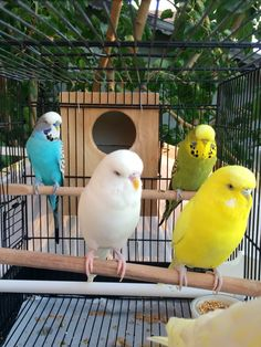 Budgies, Parrots, Cute Birds, Parakeet, Beautiful Birds, Cute Animals, York, Parakeets, Aussies
