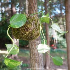 Learn how to create a beautiful and frugal string garden with kokedama made from houseplant cuttings. Tutorial by Craftiments.