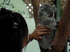 Awwww, look at those ears wiggling on the koala bear as its being tickled!   #lol #animals #koala #bear #koalabear #tickling #gif #cute #funny