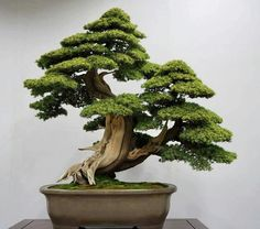 9 Great Ideas for Caring for a Bonsai Tree Bonsai Tree Care, Bonsai Tree Types, Indoor Bonsai Tree, Bonsai Plants, Bonsai Garden, Bonsai Trees, Small Plants, Small Trees, Mame Bonsai