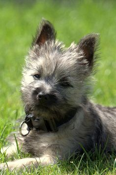 Cairn Terrier- they are so cute