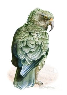 nz parrot kea painting - Google Search