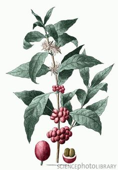 Botanical illustration of the coffee plant, Coffee arabica.