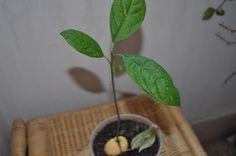 seme-avocado-casa