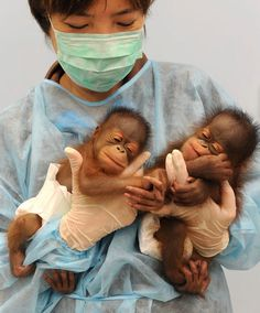 orangutanes.jpg (600×723)