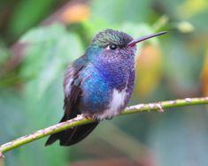 Foto beija-flor-de-peito-azul (Amazilia lactea) por João Menezes | Wiki Aves - A Enciclopédia das Aves do Brasil