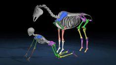 Horse and rider anatomy compared. Copyright Jane Savoie.