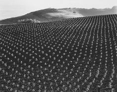Not how we grow tomatoes today!  Edward Weston, Tomato Field, 1937
