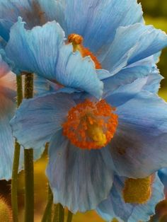 Himalayan Blue Poppies - meconopsis. They should thrive 1,000 metres up, shouldn't they?