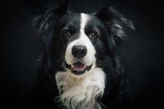 ¿Conoces el ranking de inteligencia canina?