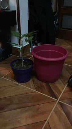 Día 37 nuevo transplante a su nueva matera, #colorKush @GoldCropSeeds #goldcropseeds #bogota #colombia #miprimeraplanta #weed