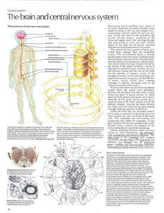 Atlas of the Body Spinal Cord, Anatomy, Artistic Anatomy