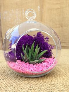 These mini terrariums are extremely easy to care for, perfect as gift and home decor. This complete succulent terrarium kit comes with helpful care and assembly instructions.Kit Includes:Mini Globe Glass Dimensions: 5.5 inch tall, 5 inch wide1 Succulent: 2 inch tall(Every succulent plant is a healthy beautiful specimen that we hand pick and package with exceptional care.)Reindeer Moss available in the following colors:Green , Red , Orange , Yellow Green , Purple ...