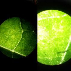 Folha de alguerengue /lupa/microscópio  Physalis