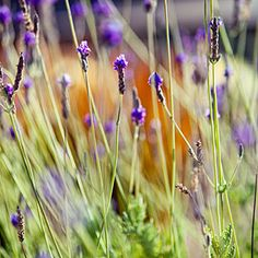 12 great low-water plants | 5. Lavandula multifida | more for Pichilemu