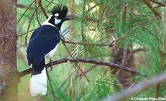 Tufted Jay  by Eduardo Inigo-Elias.           A Canyon of Their Own - Summer 2009 Living Bird.  Cornell.   via Dicentra spectabilis