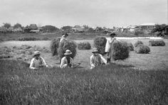 Haying in the fields in the outskirts of Manila, Philippines, early 20th Century