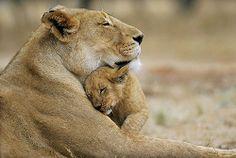 lion mummy <3