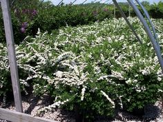 Spiraea nipponica 'Snowmound' (Snowmound Spirea) Shrubs, Perennials, Trees, Outdoor Structures, Cover, Plants, Tree Structure, Planters, Wood