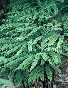 Adiantum pedatum (Northern Maidenhair Fern)