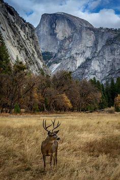 Mule deer buck, Ahwahnee Meadow in Yosemite Valley, California by larry pannell