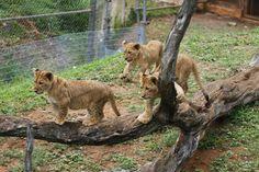 Meet Honolulu Zoo's African lion cubs Honolulu Zoo, Lion Cub, Cubs, Panther, Photo Galleries, African, Meet, Gallery, Animals