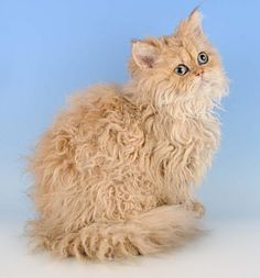 Cream Selkirk Rex | How do you (or do you?) brush them?