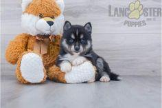 #Pomsky #Charming #PinterestPuppies #PuppiesOfPinterest #Puppy #Puppies #Pups #Pup #Funloving #Sweet #PuppyLove #Cute #Cuddly #Adorable #ForTheLoveOfADog #MansBestFriend #Animals #Dog #Pet #Pets #ChildrenFriendly #PuppyandChildren #ChildandPuppy #BuckeyePuppies www.BuckeyePuppies.com Pomsky Puppies For Sale, Animals Dog, Mans Best Friend, Puppy Love, Teddy Bear, Pets, Children, Sweet, Young Children