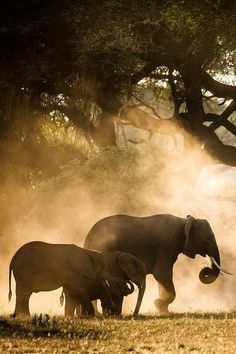lsleofskye: African Elephant - Nature is Life All About Elephants, Elephants Never Forget, Save The Elephants, Baby Elephants, Beautiful Creatures, Animals Beautiful, Cute Animals, Wild Animals, Baby Animals