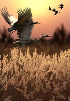 In the Autumn when grains and certain grasses have their golden ripness, swans go looking for dinner