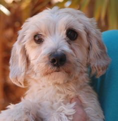 Allison is a gentle, 7-pound sweetie drawn to soft-spoken people.  She is a Malti-Poo (Maltese & Poodle mix), 2 years young, a spayed girl, debuting for adoption today at Nevada SPCA (www.nevadaspca.org).  Allison enjoys other good-natured dogs and needs regular professional grooming.  A calm home environment is likely ideal for her as she continues building confidence and self-esteem.
