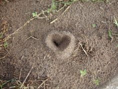 Yes, even ants love hearts! />> Carolyn Hilton /natural hearts