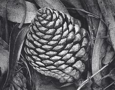 [close-up of robust pine cone, smaller end up, nested between narrow eucalyptus leaves] Ansel Adams Pine Cone and Eucalyptus Leaves, San Francisco, California 1932 ca. 1936 1933 INTIMATE NATURE: ANSEL ADAMS AND THE CLOSE VIEW The photographs in Intimate Nature: Ansel Adams and the Close View represent an under recognized and rarely examined aspect of Ansel Adams's half-century-long career: his study of the intimate details of nature through the close view of his camera.
