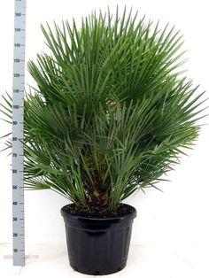 Chamaerops Humilis winterharde palm kopen - De Italiaanse oase