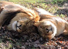 Great photo taken by zookeeper, K. Simpkins