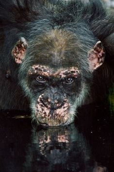 Las chimpancés cazadoras dan pistas sobre los primeros humanos | Ciencia | EL PAÍS