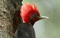 Helmeted Woodpecker, South America