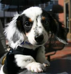 such a pretty doxie