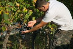 Harvesting Grenache grapes, the backbone of our rosé.