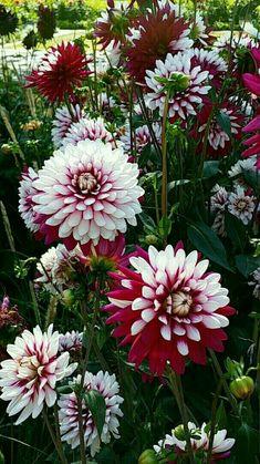 Beautiful Flowers Garden, Rare Flowers, Amazing Flowers, Beautiful Roses, Pretty Flowers, Beautiful Gardens, Dahlia Flowers, Zinnias, Dahlias